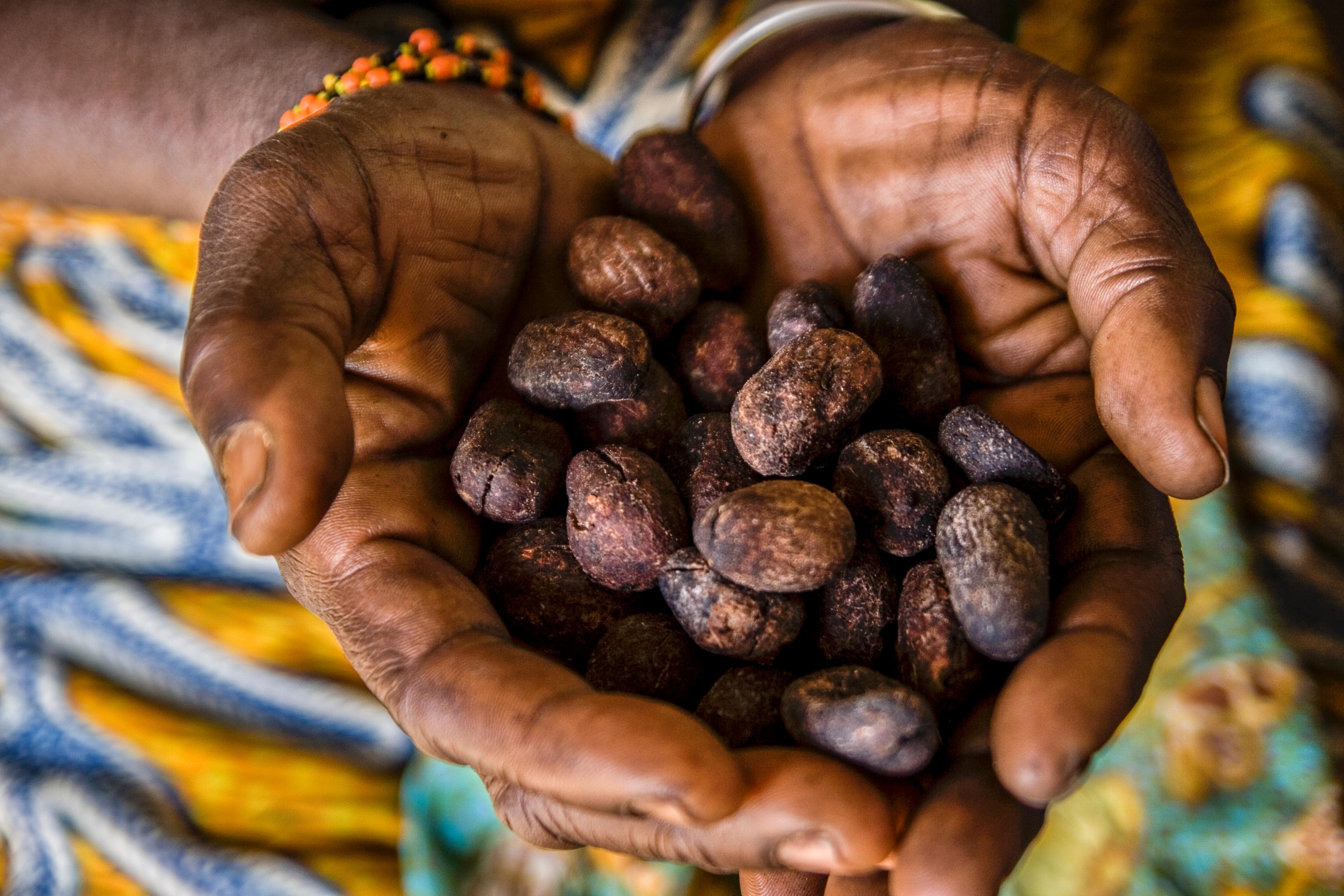 Sheanüsse aus Afrika geröstet zum Herstellen von Sheabutter