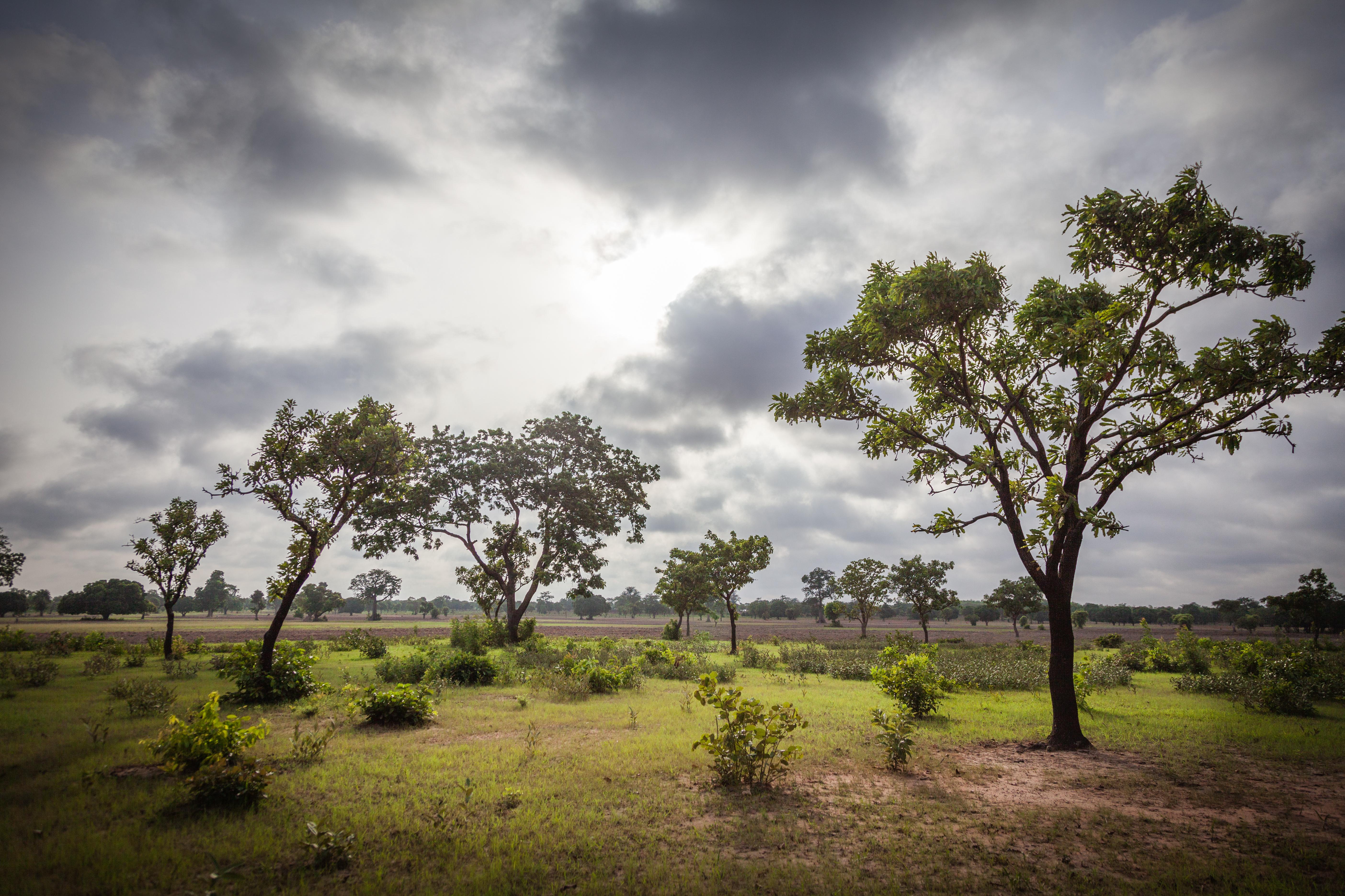 Sheanussbaum in der afrikanischen Savanna